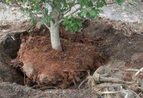Frascati, si arricchisce il patrimonio arboreo della Città