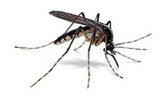 albano zanzara