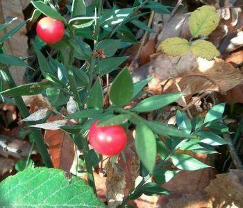 pungitopo arbusti Castelli