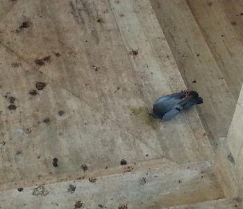 piccione esanime