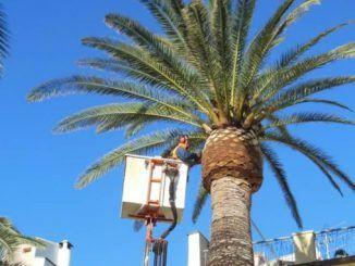 Iniziati interventi fitosanitari protettivi sulle palme comunali di Frascati