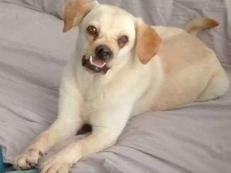 Labrador massacrato di botte. Ora nessuno vuole adottarlo perché troppo brutto