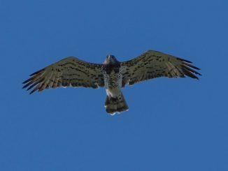 Scatto ad un biancone in volo al Parco Regionale Castelli Romani