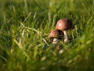 Funghi epigei