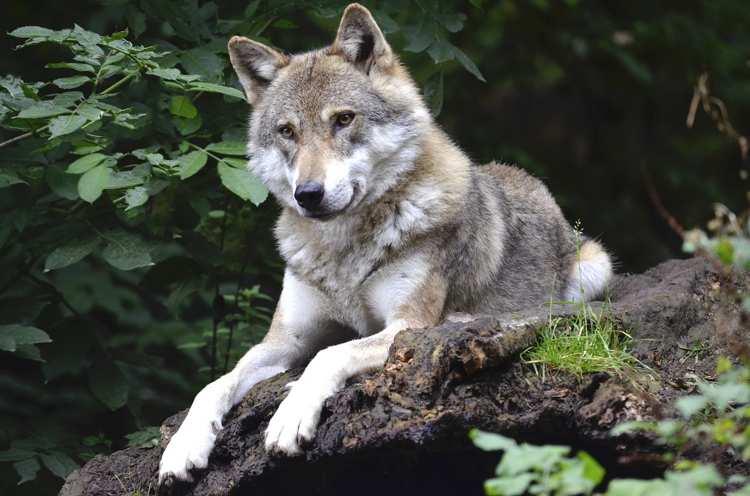 presenza del lupo nel Parco regionale dei Castelli Romani