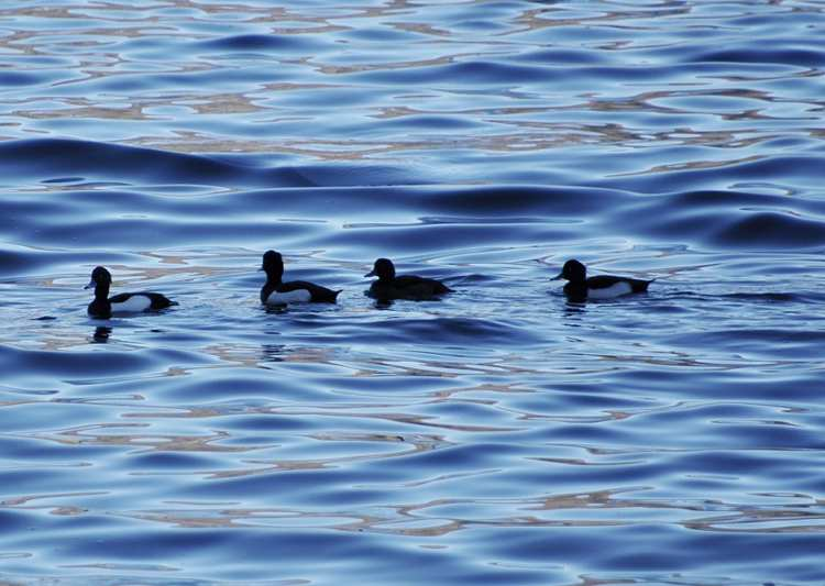 Censimento avifauna svernante dei laghi