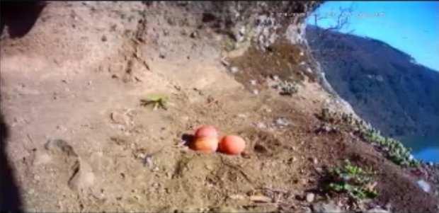 falchi abbandonano le uova